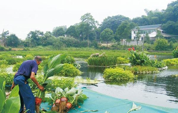 养猪场的粪水通过沼气池排放到水塘种植水植